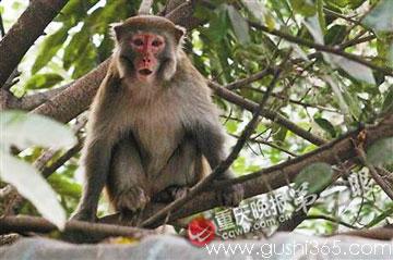 猴子下山捣蛋 拔鸡毛 逗黄狗