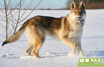 狼狗布尔加