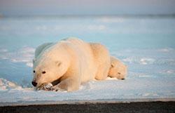 北极熊的等待