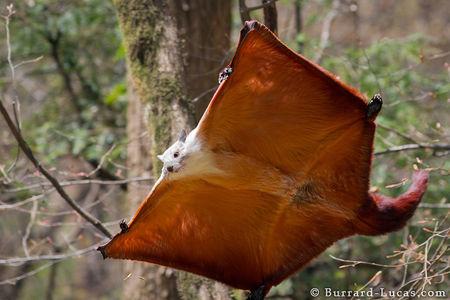 復齒鼯鼠:會飛的鼠