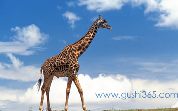 世界最高的动物——长颈鹿