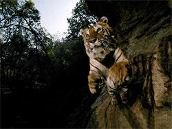 永不后退的老虎|传奇虎王查吉尔