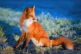 狐狸的恶作剧