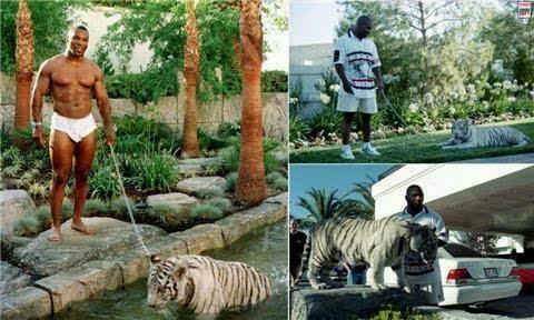 泰森养老虎,结果差点被老虎吃了