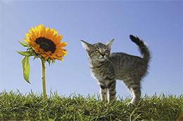 小花猫种向日葵