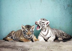 两只小老虎