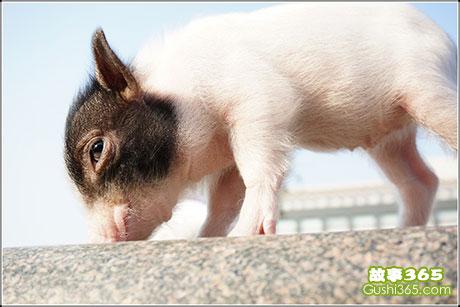 偷吃西瓜的小豬
