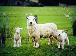 向53只羊道歉