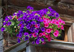 窗台下的紫罗兰