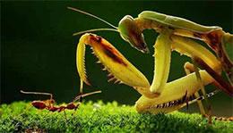 小螞蟻斗大螳螂