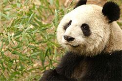 孤独的熊猫咪咪