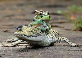 鱷魚背青蛙
