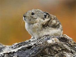 高原鼠兔的大智慧