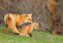小狐狸聪聪