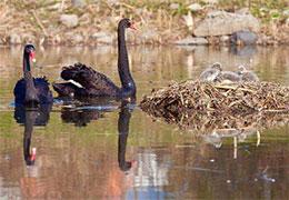 黑天鵝爸爸媽媽和寶寶