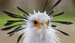 非洲的明星鸟——蛇鹫(着名的秘书鸟)