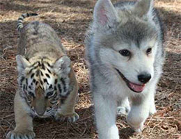 小狼崽和小虎崽的有爱照
