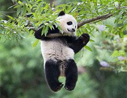 熊猫带来的小插曲