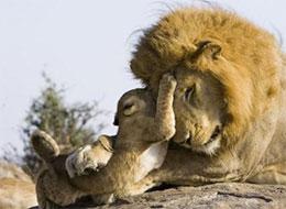 小獅子和爸爸