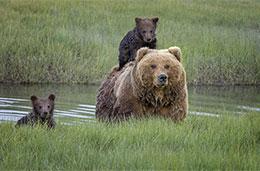 熊媽媽背熊寶寶過河