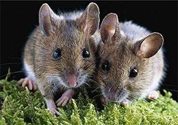 好老鼠,坏老鼠