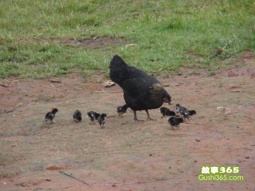 鸡宝宝吃沙粒