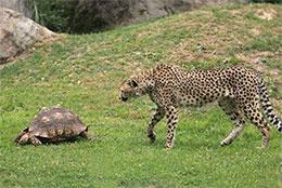 獵豹和烏龜
