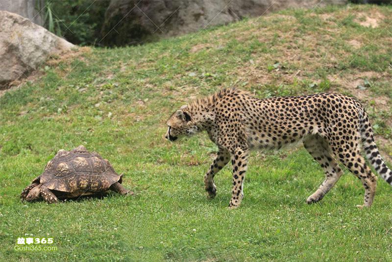猎豹和乌龟