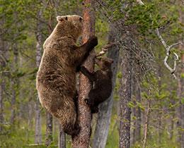 熊寶寶學爬樹