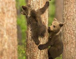 趁著熊媽媽睡覺,三只小熊比賽爬樹