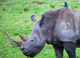 暴脾气的犀牛