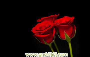 圣诞节的红玫瑰