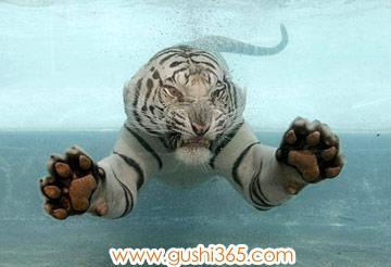 小老虎学游泳